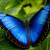 Image of blue morpho butterfly