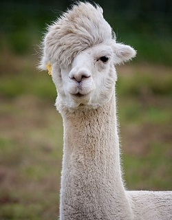 You And Llamas – A Great Home Business Idea
