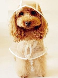 poodle in raincoat